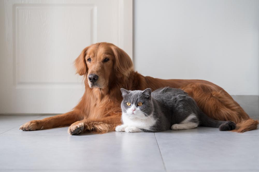 Quelles sont les races de chien qui peuvent vivre harmonieusement avec les  chats ?